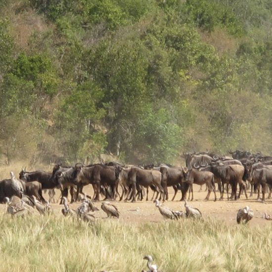 Great Migration Wildebeest