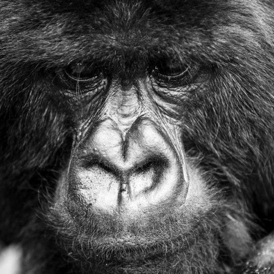 Silverback Mountain Rwanda Gorilla