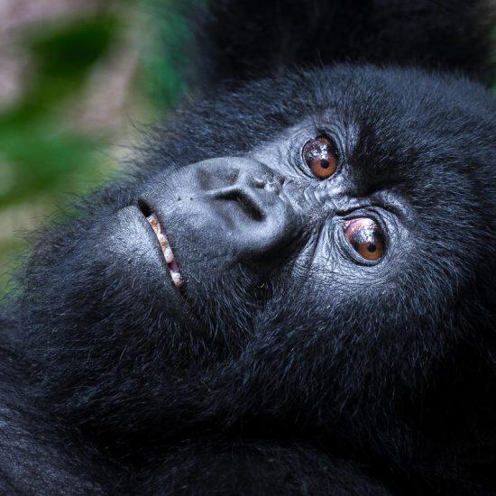 Stunning Silverback Mountain Rwanda Gorillas