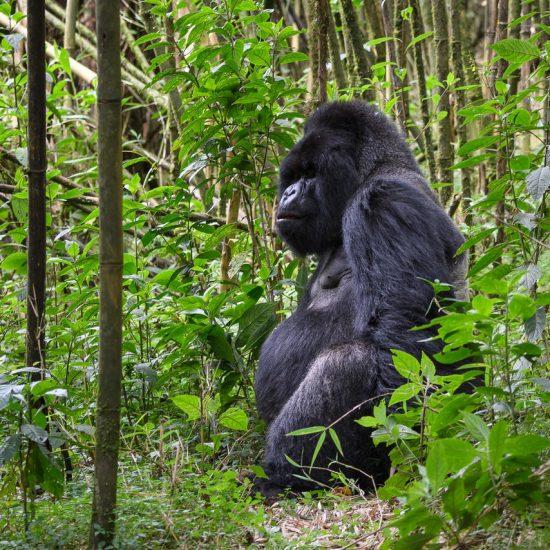 Male Silverback Mountain Rwanda Gorillas