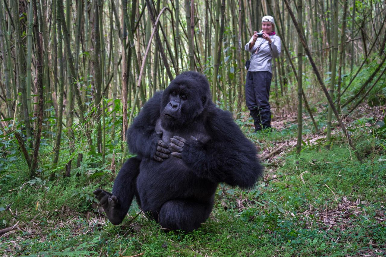 Photograph encounters Silverback Rwanda Gorillas