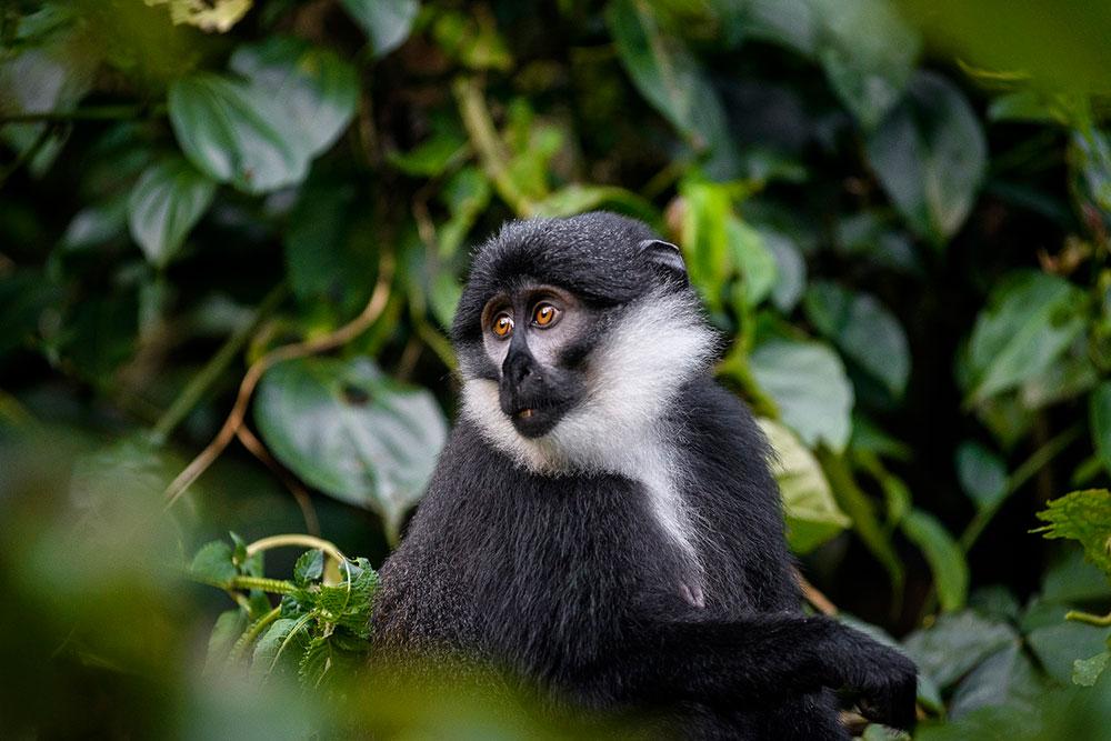 Rwanda Gorillas or Uganda Gorillas 1