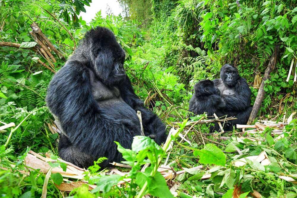 Rwanda Gorillas or Uganda Gorillas 2