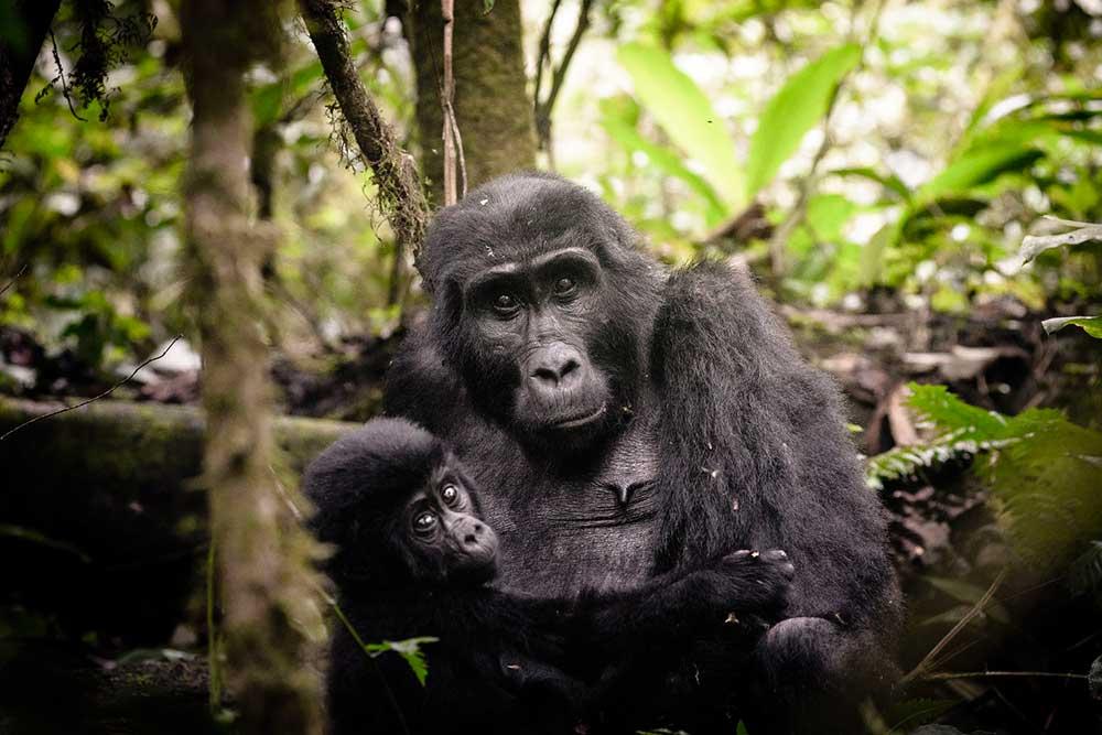 Rwanda Gorillas or Uganda Gorillas 3