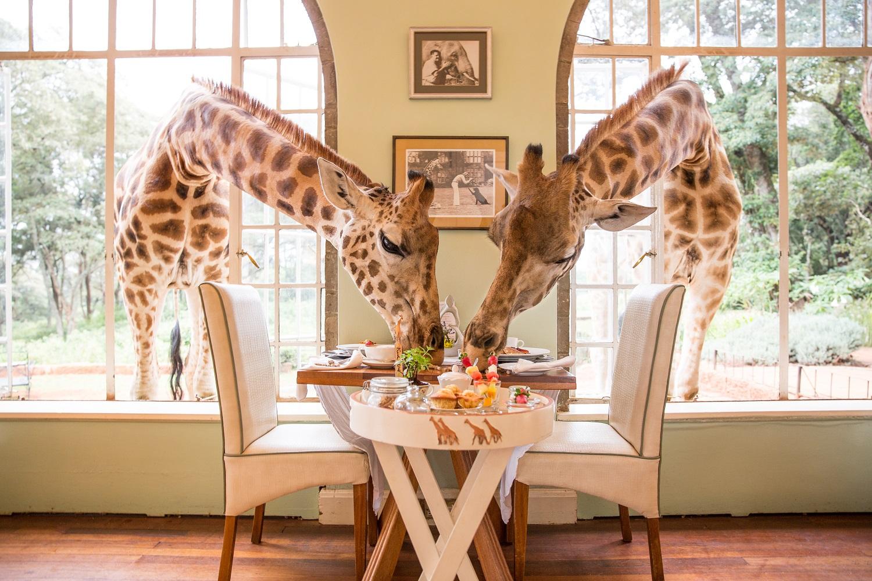 Giraffe Manor resident Rothschild giraffes